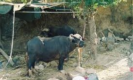 7 buffaloes buried alive after cattle yard collapsed due to torrential rains