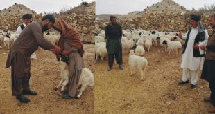 Livestock deptt vaccinates thousands cattle in affected areas